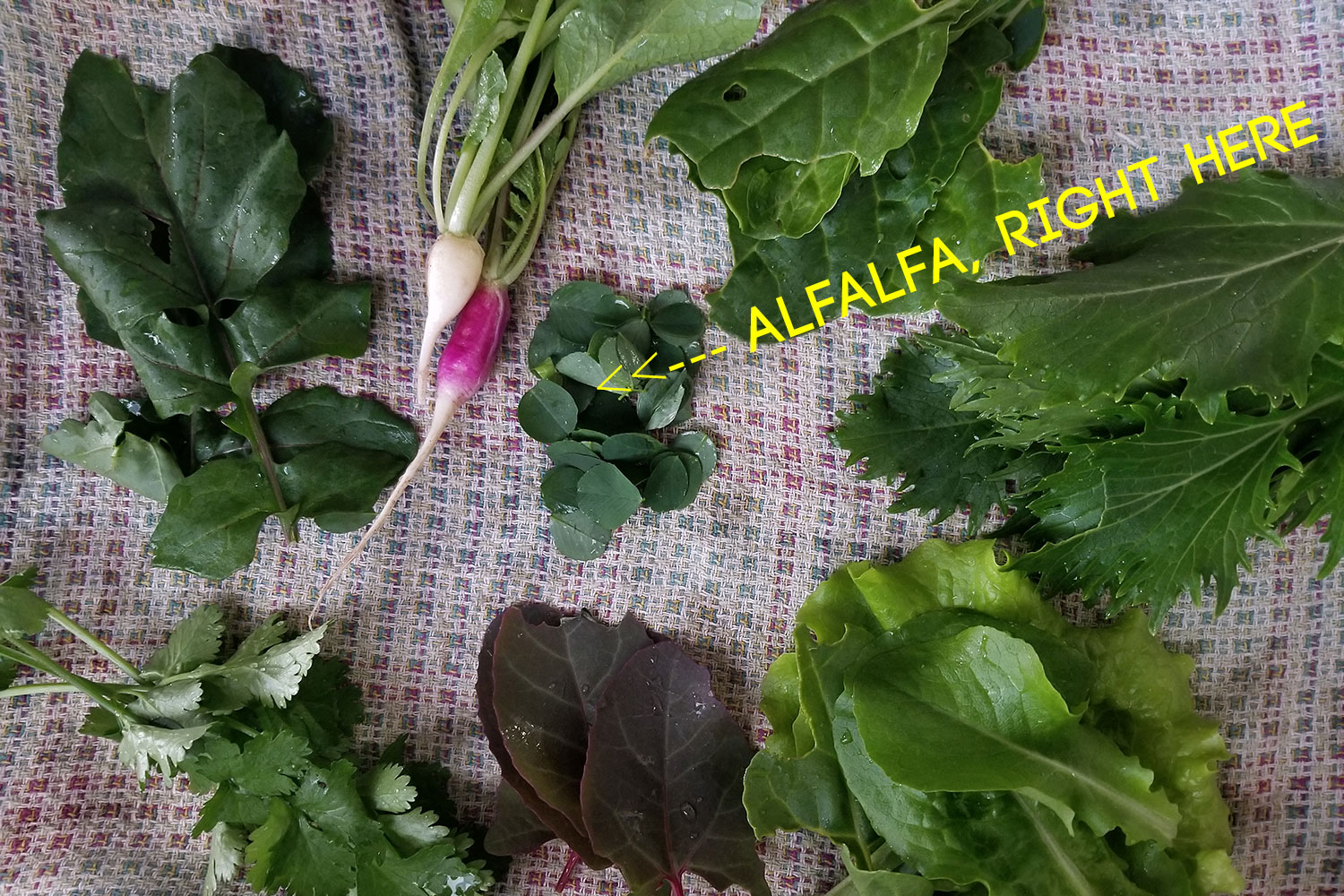 An array of backyard veggies including alfalfa