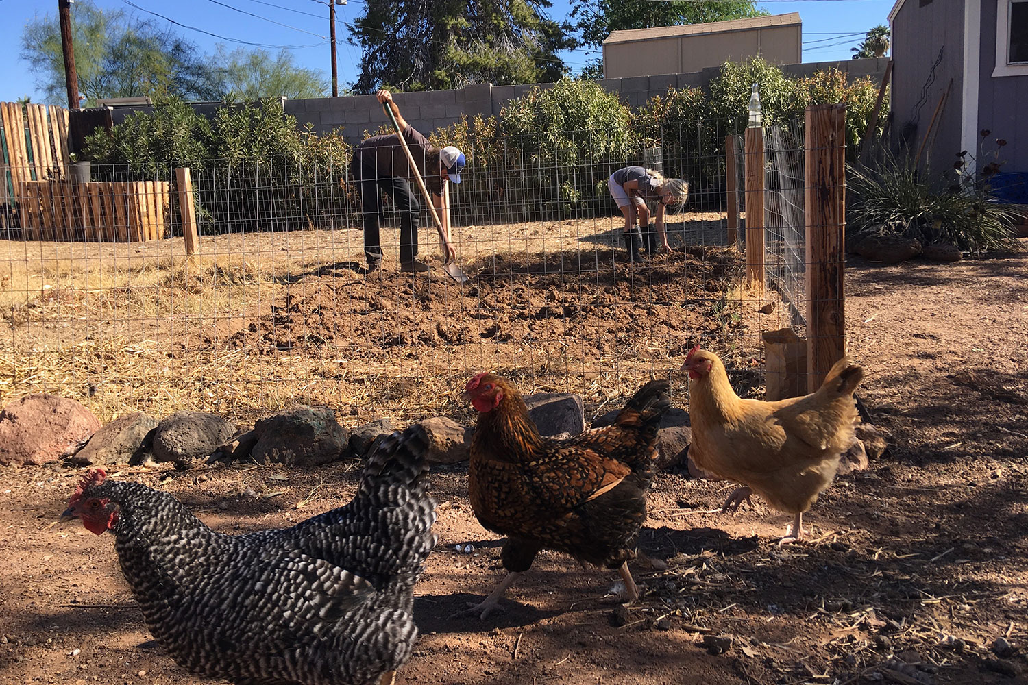 Pecks in the City: Is Urban Chicken Farming For You